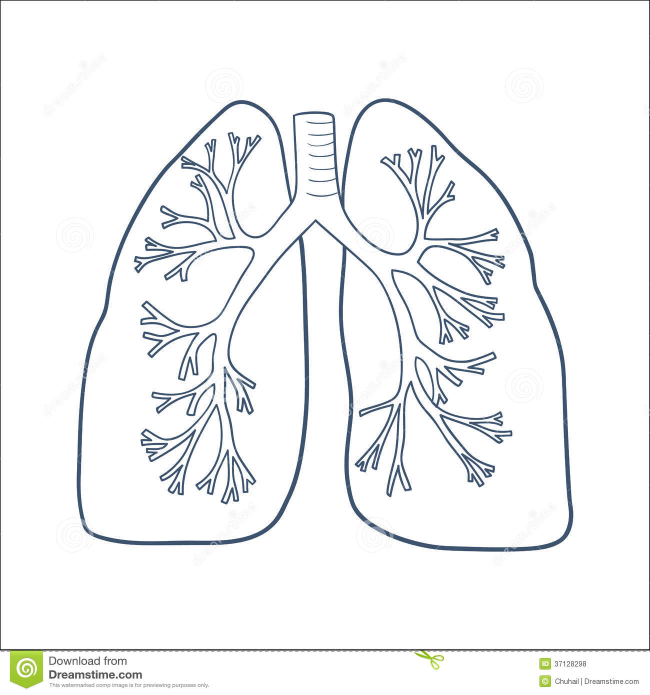 Anatomical Lungs Isolated On White. Royalty Free Stock Photos.