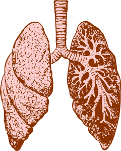 Lungs Clip Art at Clker.com.
