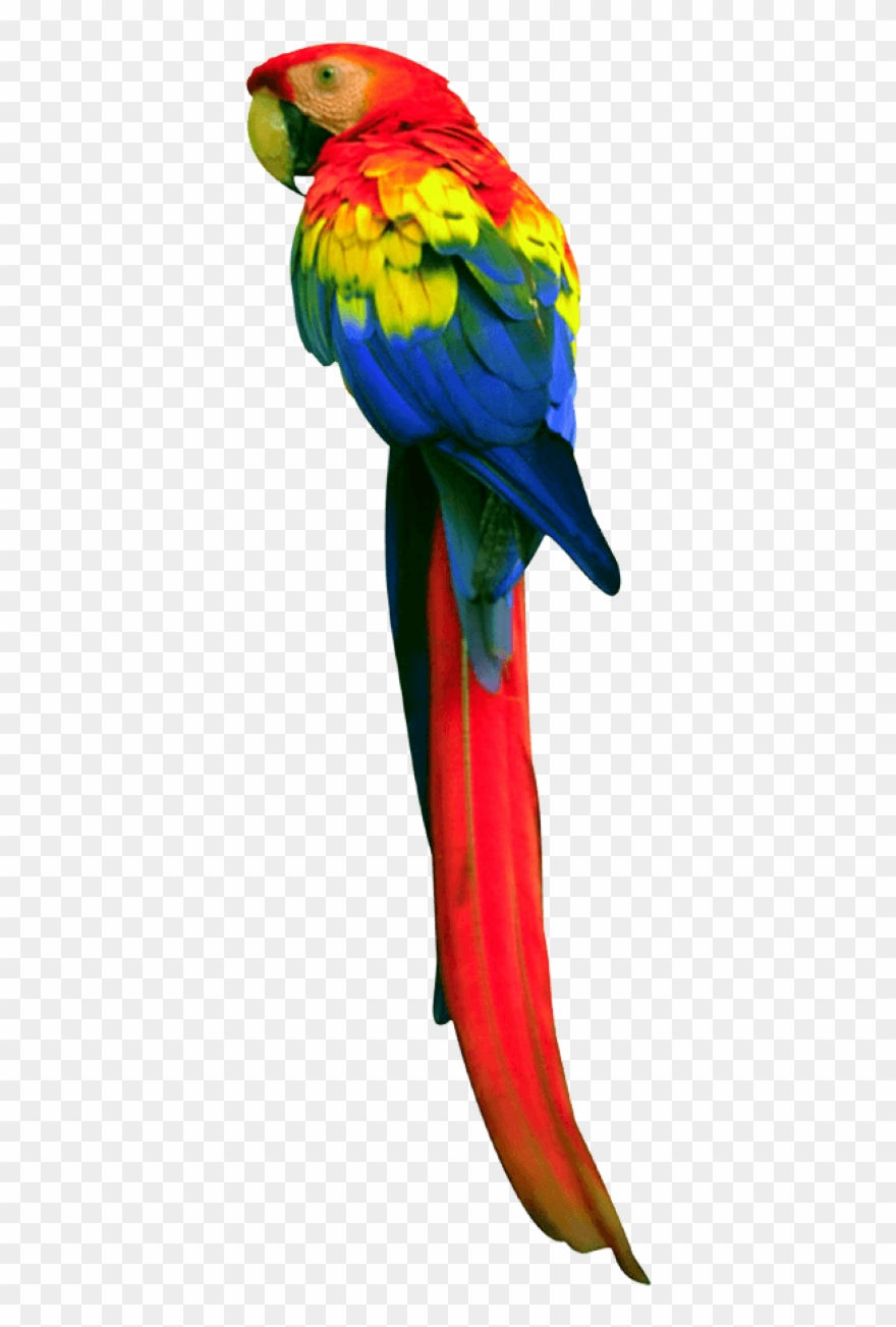 Long Tail Parrot.