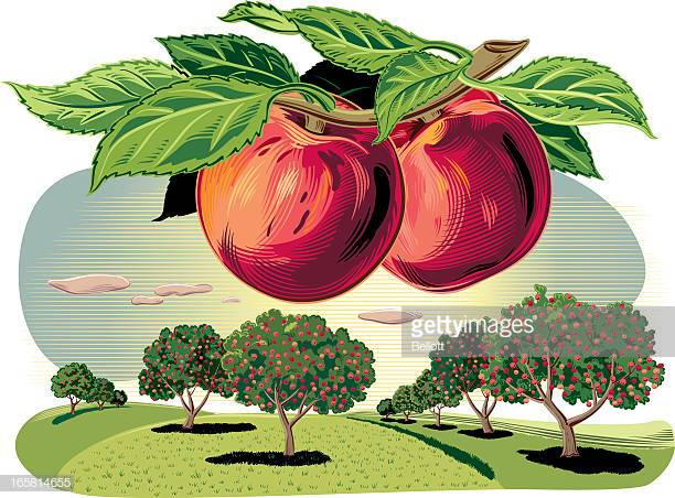 60 Top Peach Tree Stock Illustrations, Clip art, Cartoons, & Icons.