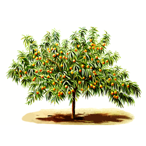 Peach tree clipart, cliparts of Peach tree free download (wmf, eps.