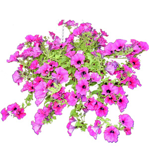 Free Petunia Flower Cliparts, Download Free Clip Art, Free.