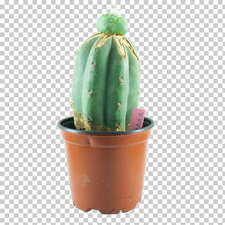 San Pedro cactus Peyote Echinopsis peruviana Cactaceae.
