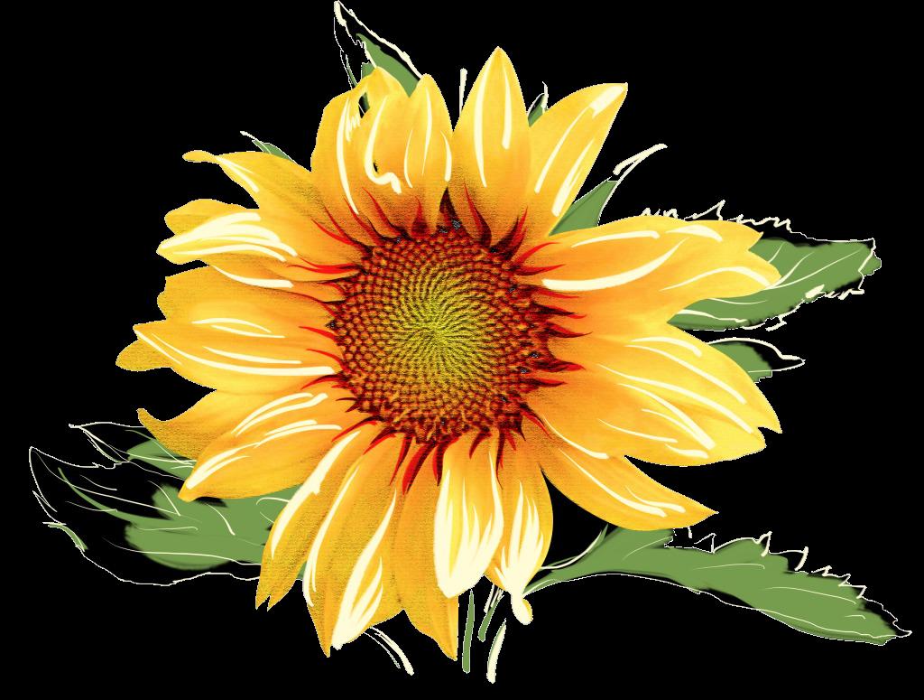 Sunflower Sunflowers Clipart Free On Cognigen Cellular Png.