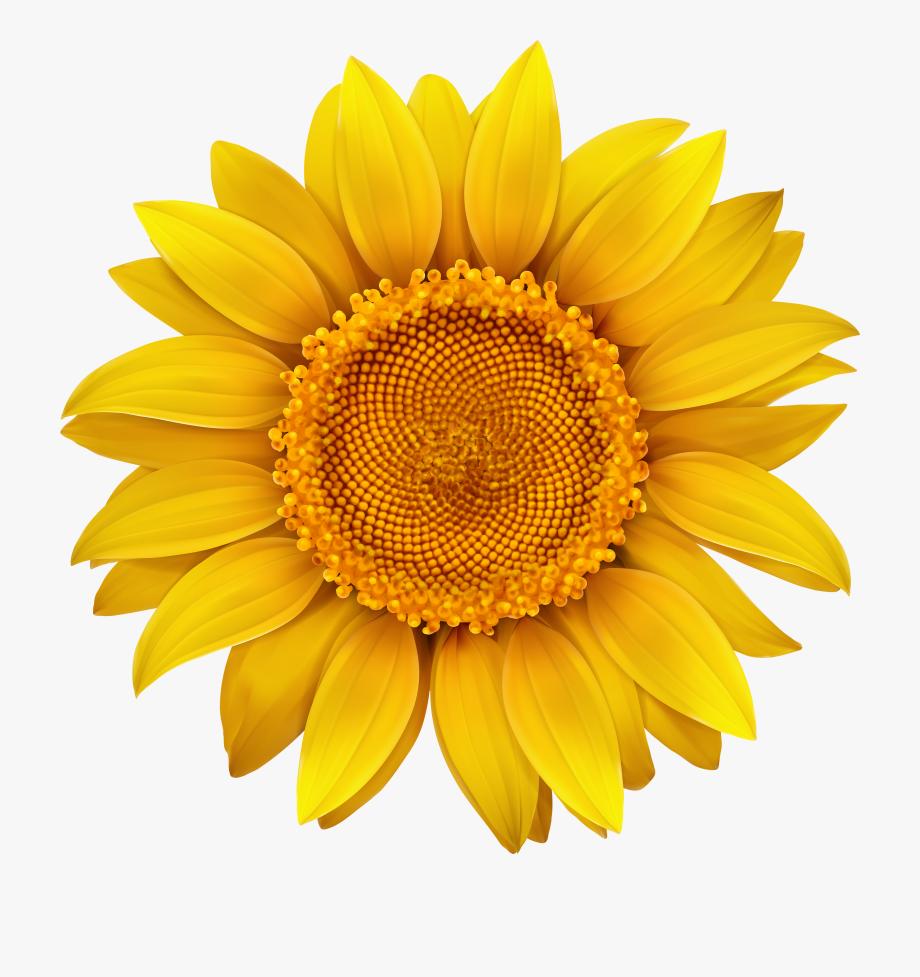 Sunflower Transparent Hi Res.