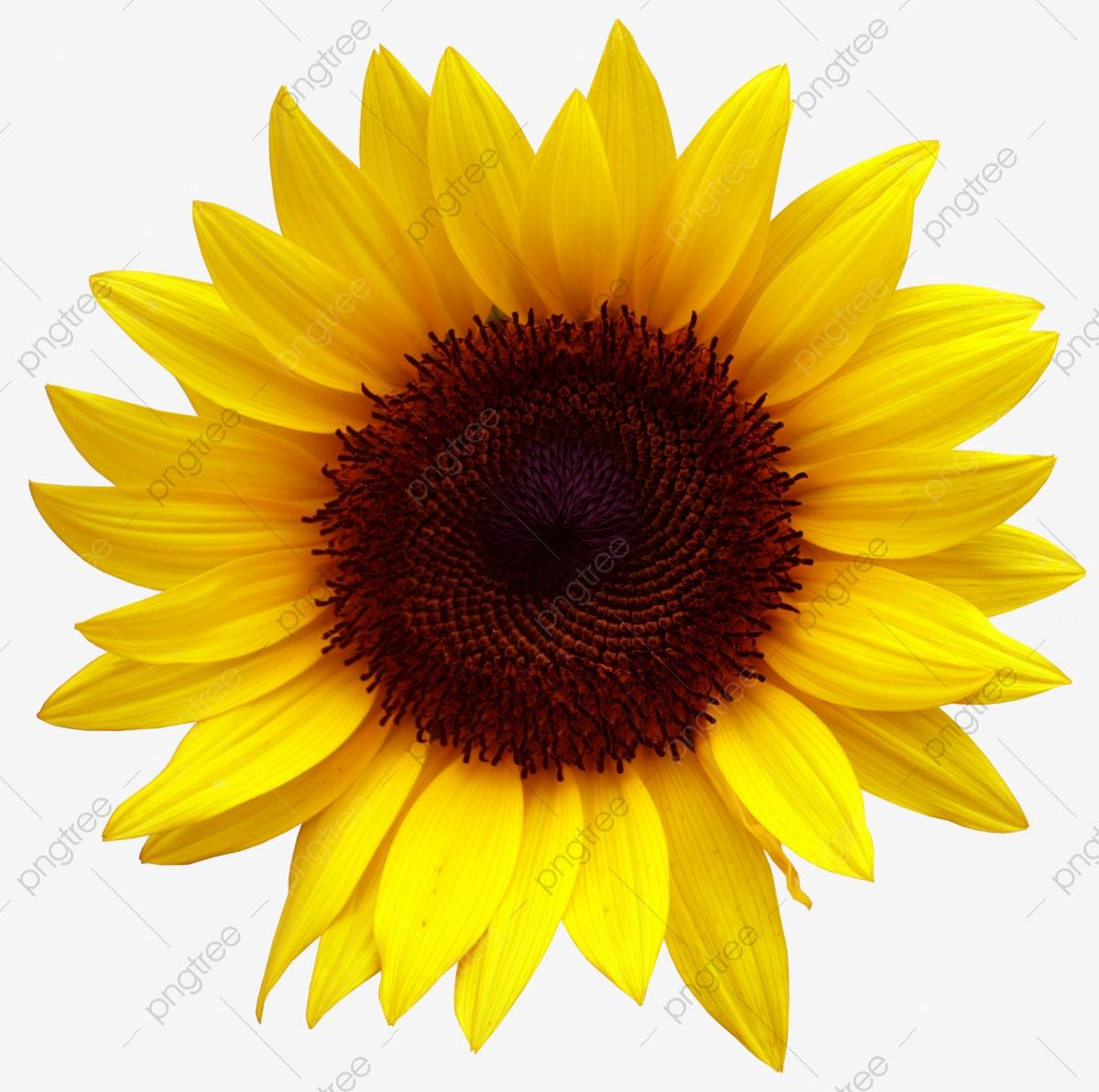 Golden Sunflowers, Sunflower, Flowers, Creative Autumn PNG.