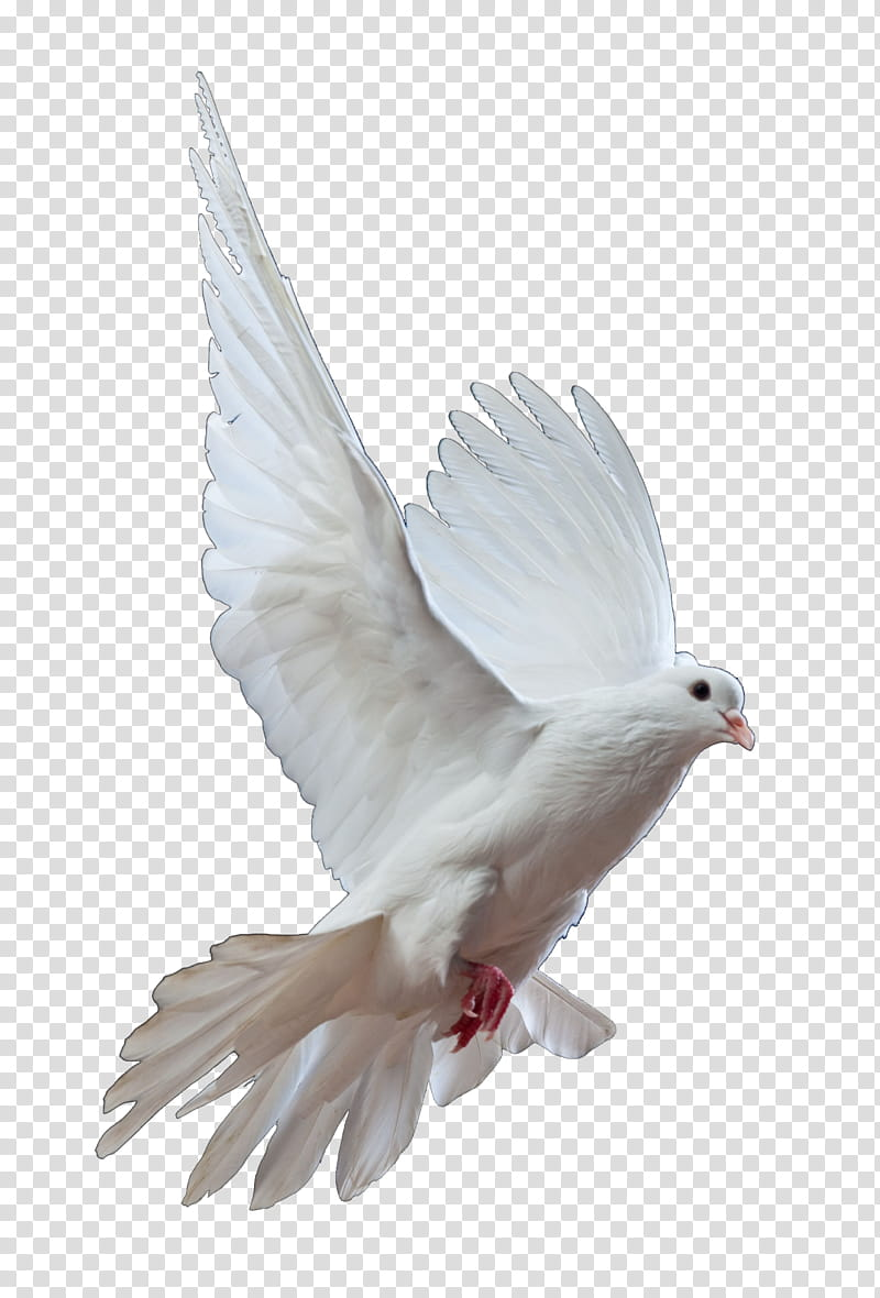 Dove, white pigeon illustration transparent background PNG.