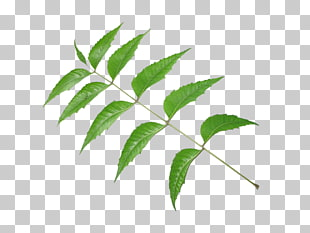 9 pimenta Racemosa PNG cliparts for free download.