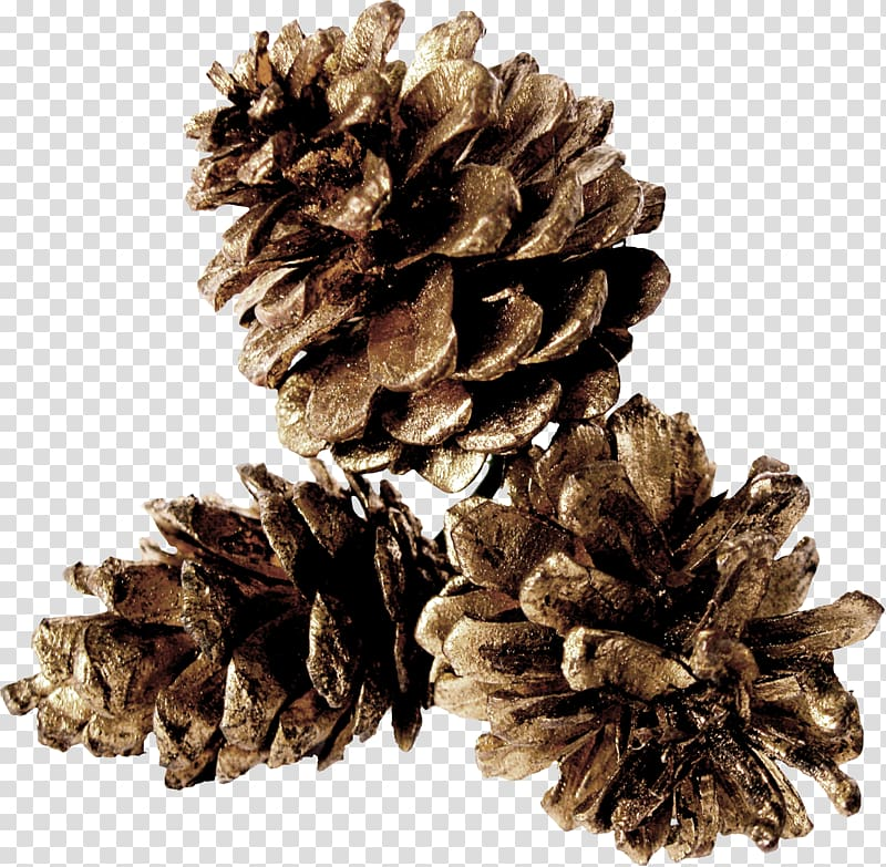 Three pine cones , Pine Conifer cone Table, Gray pine cones.