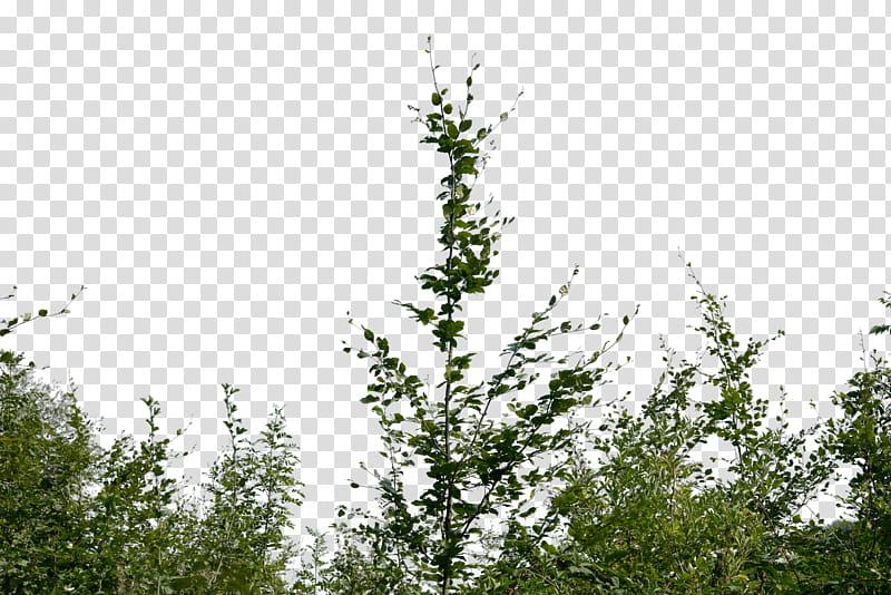 Bush, green plant transparent background PNG clipart.