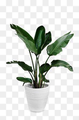 Big Leaf Green Potted, Potted Plants, Green, Big Leaves PNG.