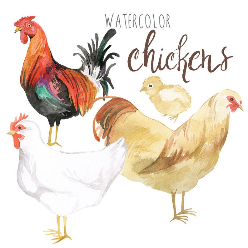 Watercolor Chickens Clip Art, Rooster clipart, Poultry Illustration, Urban  Farming, Trendy Clipart.