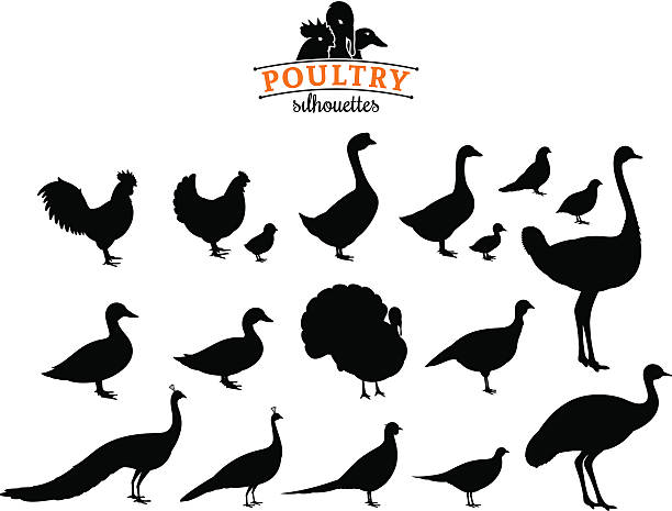 Best Poultry Illustrations, Royalty.