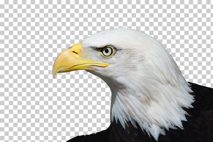 Bald Eagle Bird of prey White.
