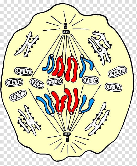 Anaphase Mitosis Prophase Metaphase Cell, others transparent.