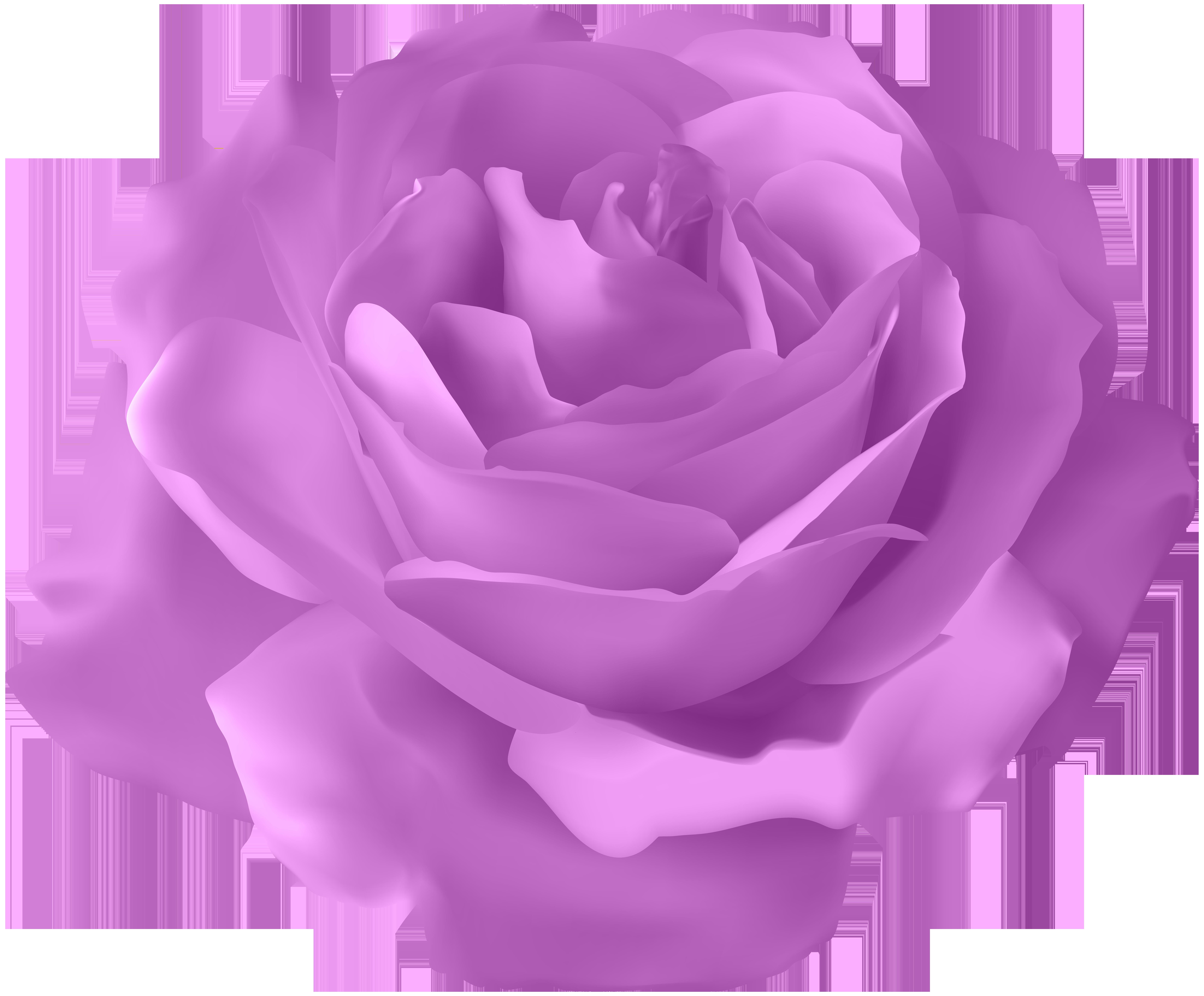 Blue rose Flower.