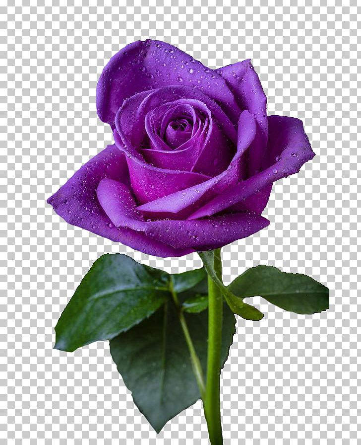 Purple Rose Purple Rose Flower Violet PNG, Clipart, Blue.
