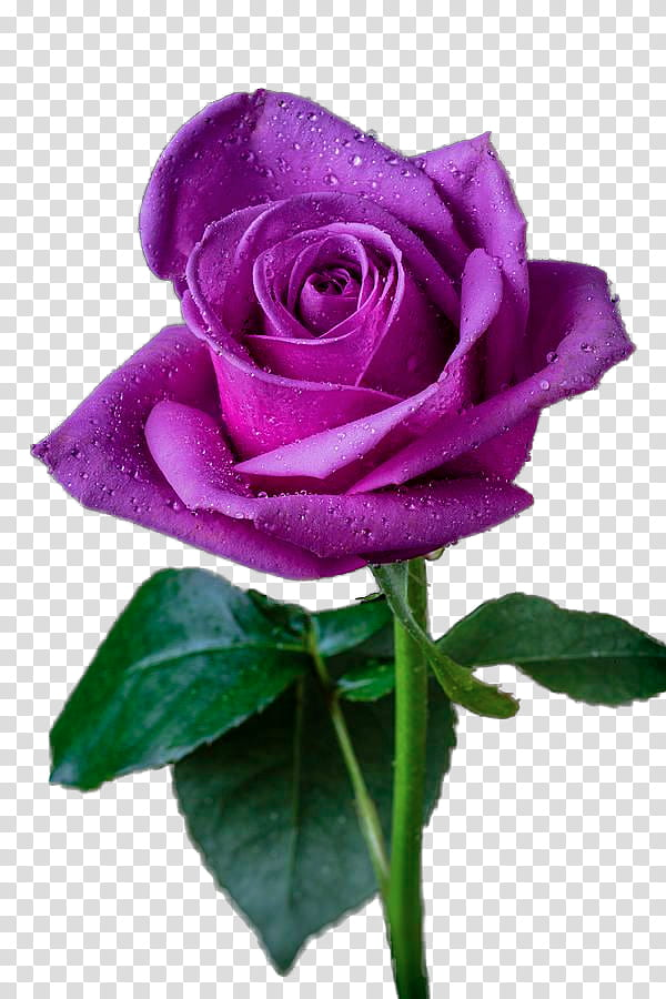Roses, purple rose in bloom transparent background PNG.