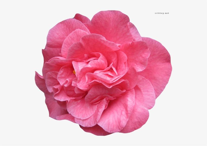 Real Flower PNG & Download Transparent Real Flower PNG.