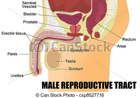 Reproductive Illustrations and Clip Art. 2,446 Reproductive.