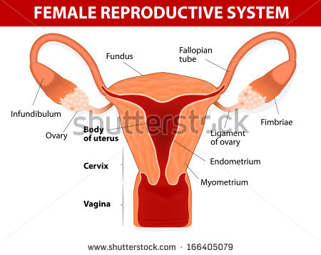 Female Reproductive System Stock Images, Royalty.