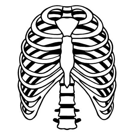 Rib cage clipart 1 » Clipart Station.