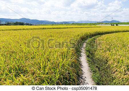 Beautiful Rice fields.