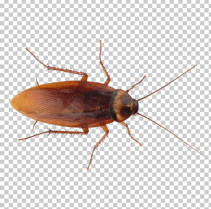 Roach PNG, Clipart, Roach Free PNG Download.