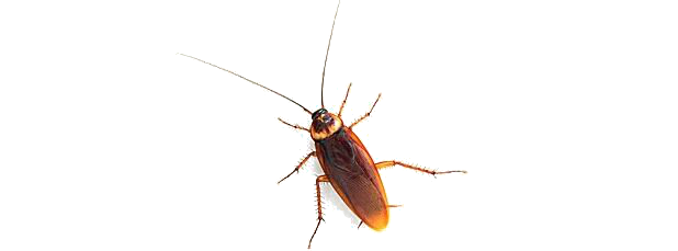 Roach Clipart PNG.