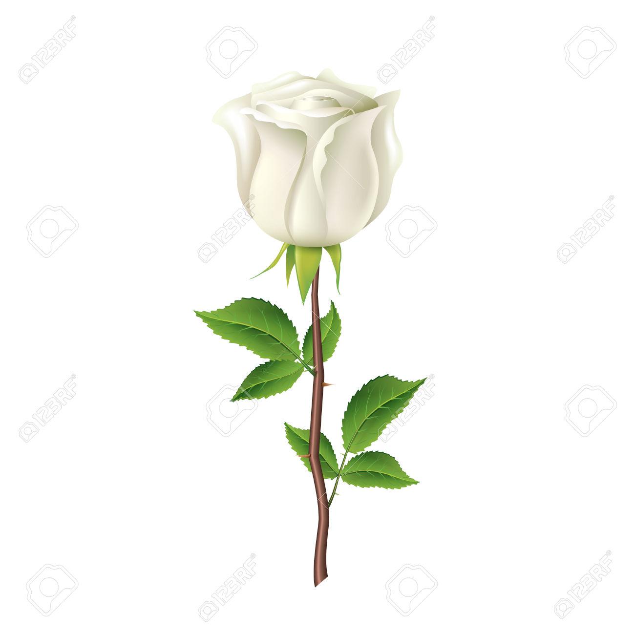 Rosa Bianca Isolato Su Bianco Foto.