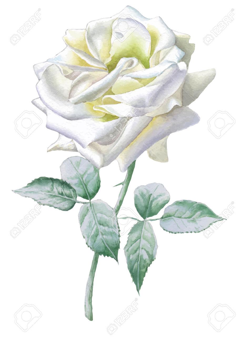 Rosa Bianca Realistico. Acquerello. Vettore. Disegnato A Mano.