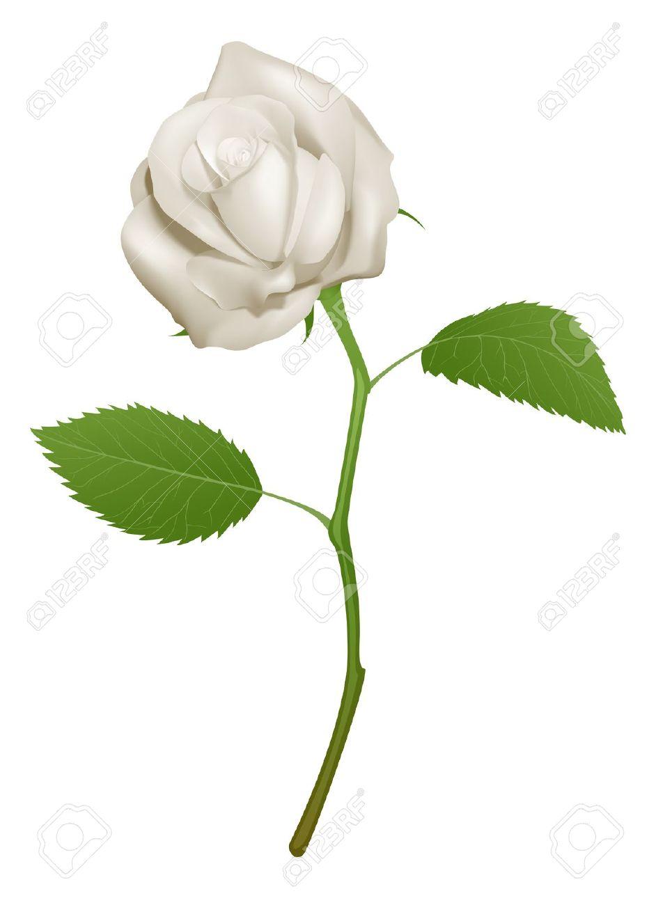 Un Esempio Di Una Bella Rosa Bianca Clipart Royalty.