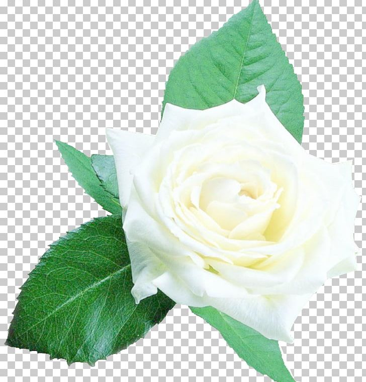 Beach Rose PNG, Clipart, Artificial Flower, Background.