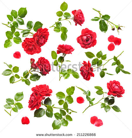 Rose Bush Stock Images, Royalty.