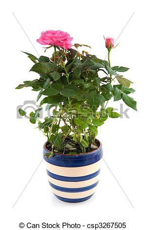 Stock Images of Pink rose bush in flower pot.