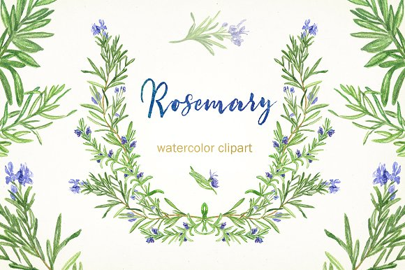 Rosemary. Watercolor clip art..
