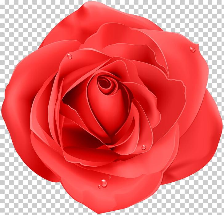 Purple Rose Home Purple Rose Home Red, Rose Red Transparent.