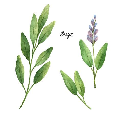1,381 Sage Leaves Cliparts, Stock Vector And Royalty Free.