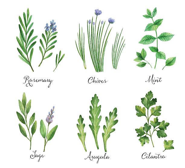 Best Sage Illustrations, Royalty.