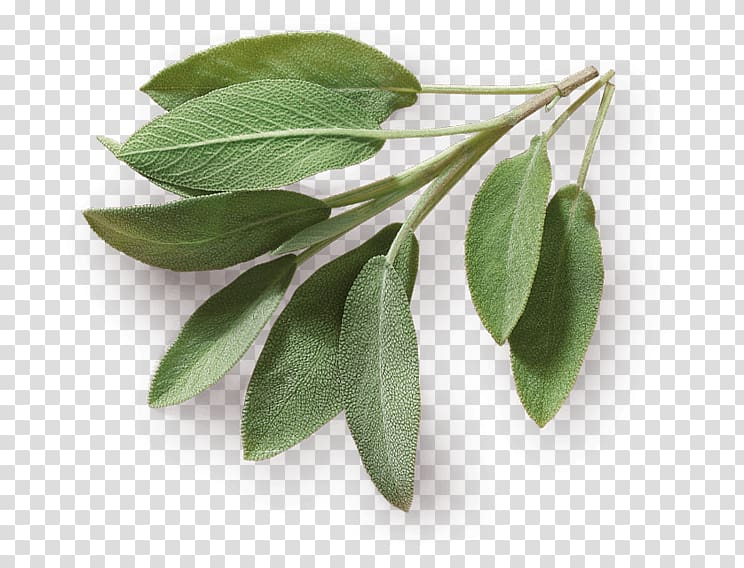 Herb Taste Spice Food Common sage, Leaf transparent.