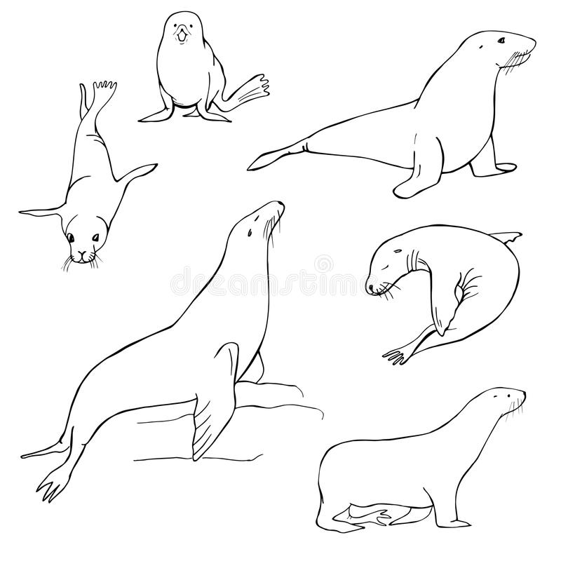 Sea Lion Stock Illustrations.
