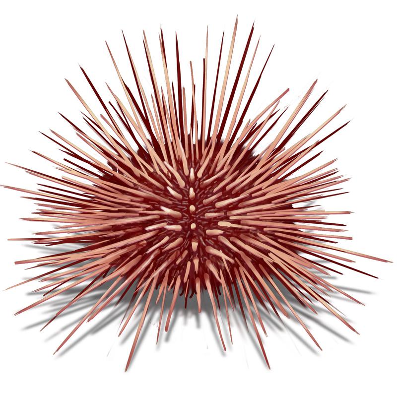 Download Free png pin Sea Urchin clipart drawin.