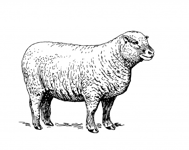 Sheep Clipart Illustration Free Stock Photo.