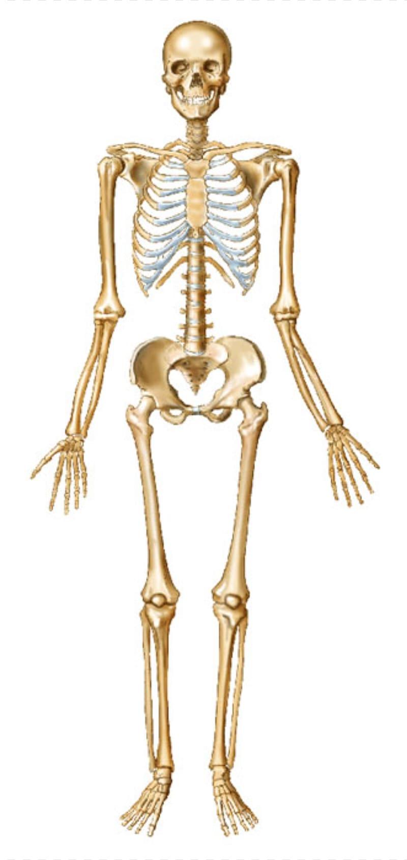 Human skeleton Bone Human body Joint, Skeleton transparent.