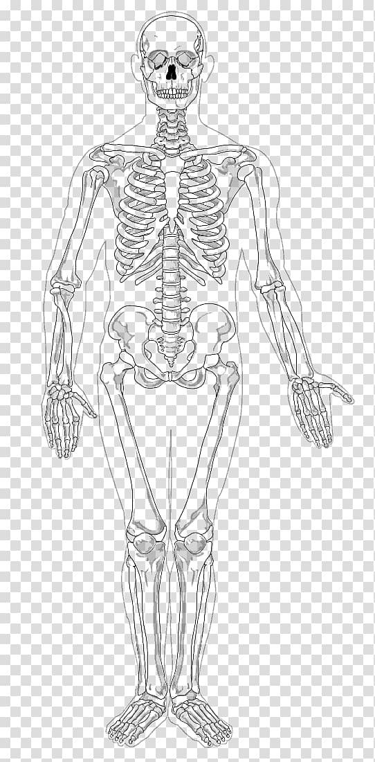 Human skeleton Appendicular skeleton The Skeletal System.