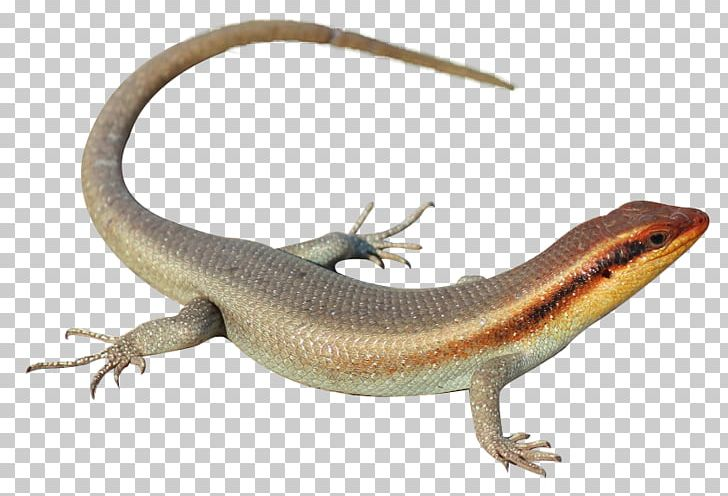 Southern Alligator Lizard Agama Skink Lacertids PNG, Clipart.