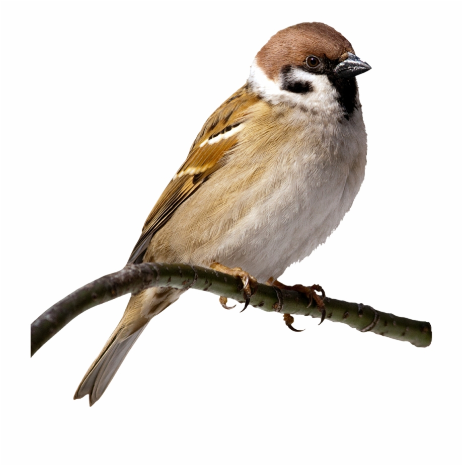 House Sparrow Clip Art Transprent Png Free.
