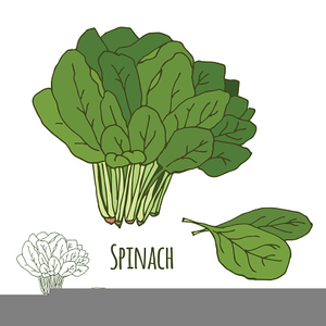 Clipart Spinach Leaves.