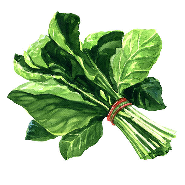 Spinach clipart 6 » Clipart Station.