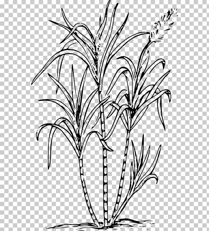 Sugarcane Drawing Saccharum officinarum , sugar PNG clipart.